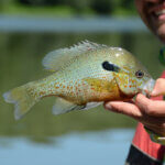 Can You Eat Sunfish?